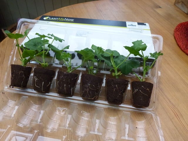 ivy leaved geraniums plug plants in tray