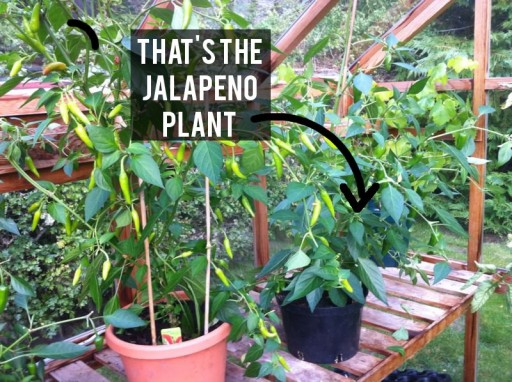 jalapeno growing in greenhouse