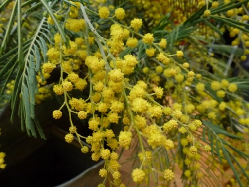 bright yellow mimosa flowers