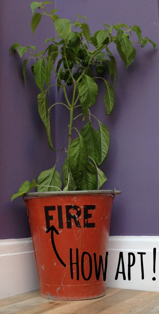scotch bonnet chilli plant grwoing in old fire bucket