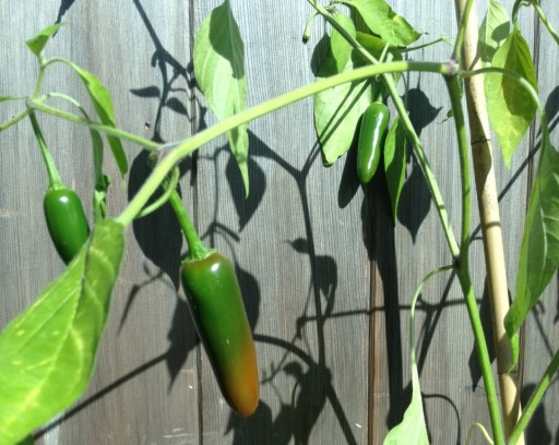 close up of chillies on plant