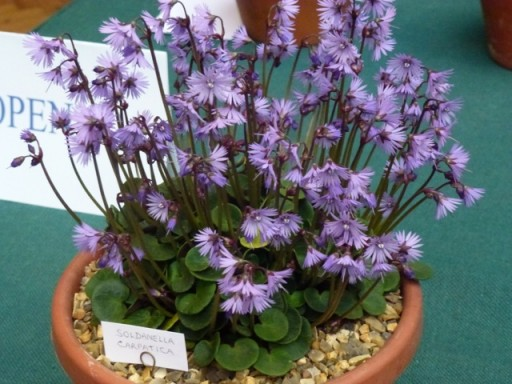 soldanella-carpatica-in-pot