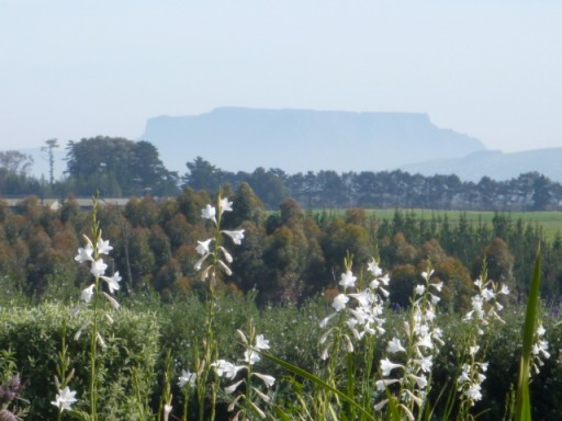 watsonia with table mountain in the background