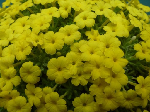 bright yellow alpine plant in flower