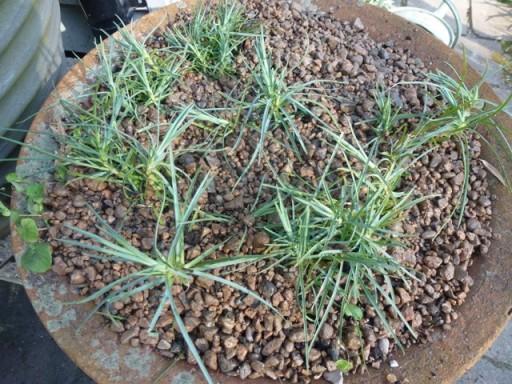 dianthus plant new shoots