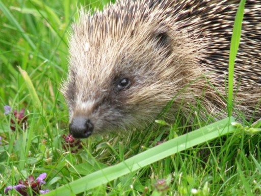 hedgehog amongst grass and clovers