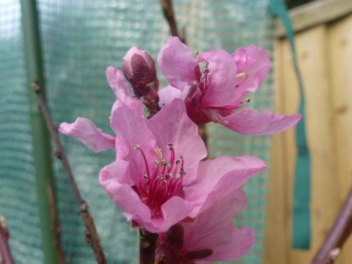 flower in bloom on peach tree