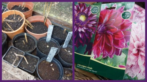 dahlias potted up in greenhouse