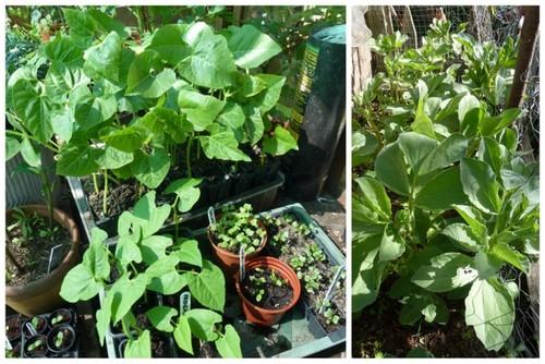 beans grow in the sun