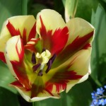 colourful-tulip