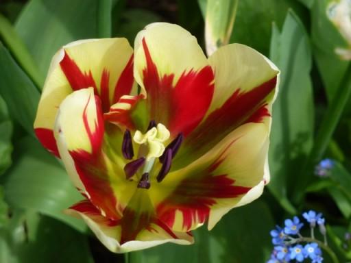 colourful-tulip
