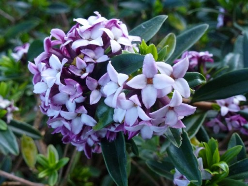 daphne in flower