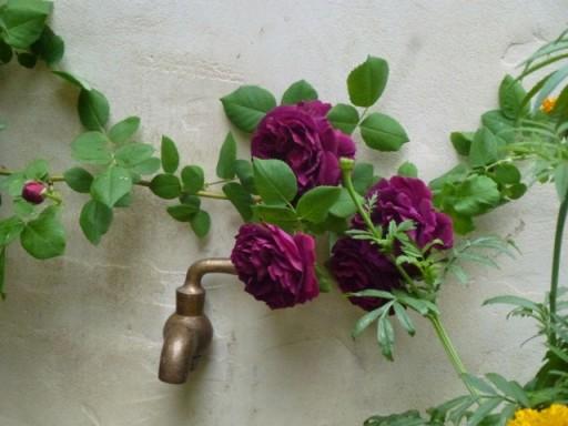 rose planted alongside brass garden tap