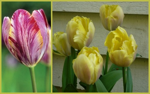 two types of pretty tulips