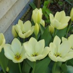 mellow yellow tulips