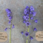 Native and Spanish Bluebells