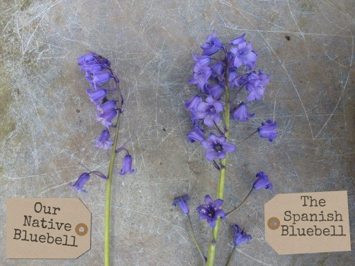 native versus spanish bluebell