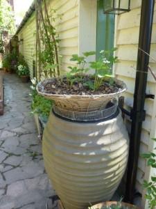 vintage hanging basket accommodates strawberry plants