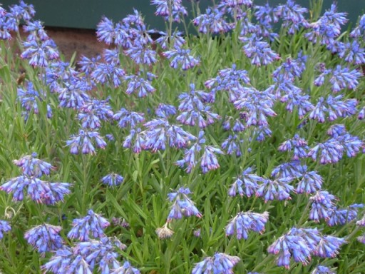 blue moltkia patraea in flower