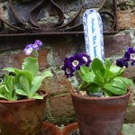 Dainty Darlings – Auriculas