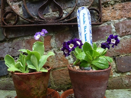 blue auricula on display in old clay pots