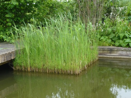 reeds contained into neat squares in pond