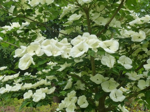 cornus venus in flower