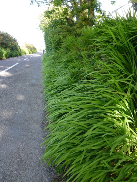 crocosmia growing wild on roadside