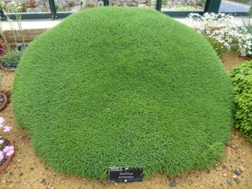 large round mound of dianthus erinaceus