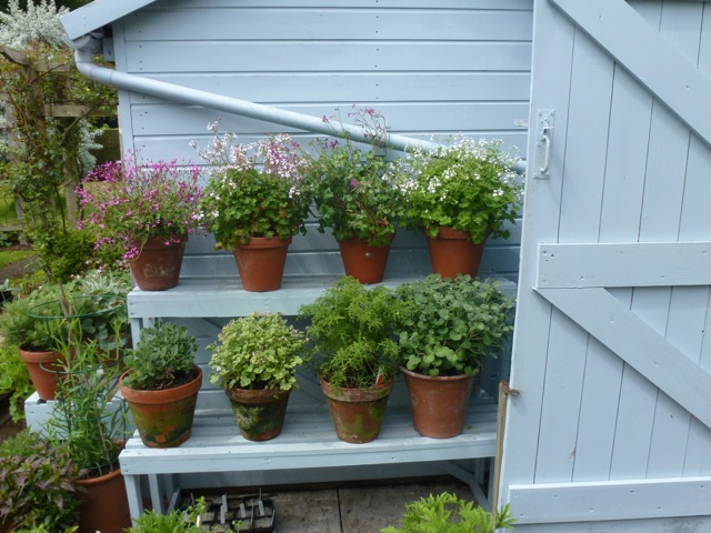 impressive display of pelargoniums in pots on staging
