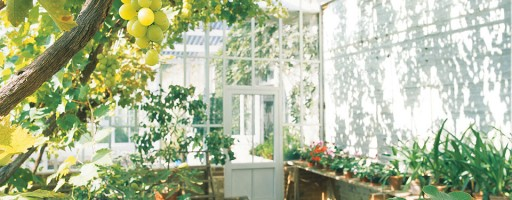 vine leaves provide natural shade in this greenhouse