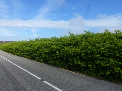 japanese knotweed hedge by roadside