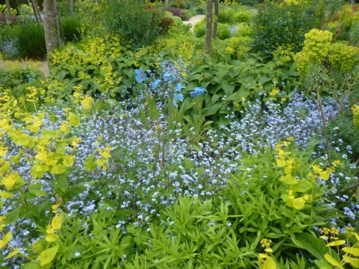 a meconopsis stands tall amongst a froth of forget me nots