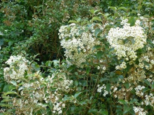 Olearia in flower