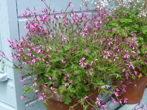 pelargonium in full flower
