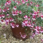 prize pelargonium