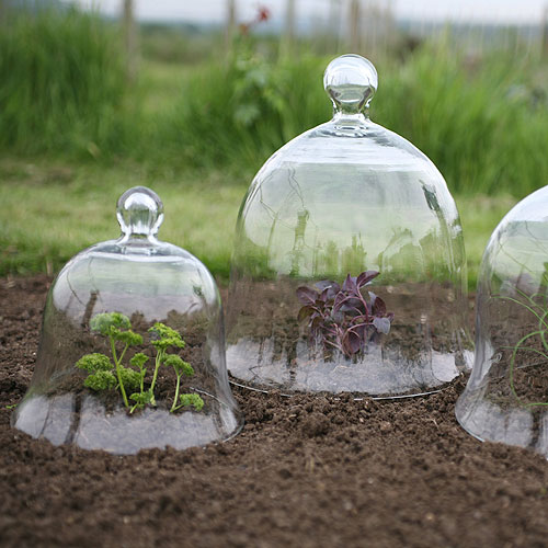 bell cloche protecting young plants
