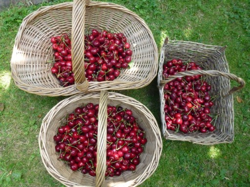 a crop of cherries in baskets