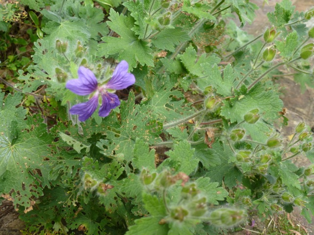 geraniums in need of cutting back