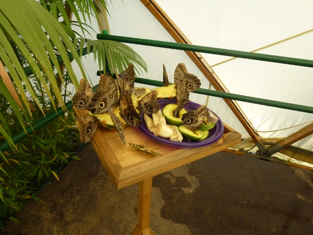 butterflies feast on fruit at the hampton court flower show
