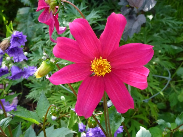vibrant pink dahlia in flower