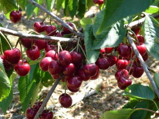 ripe cherries growing on a tree