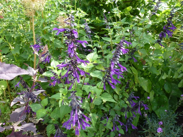 salvia armistad in flower