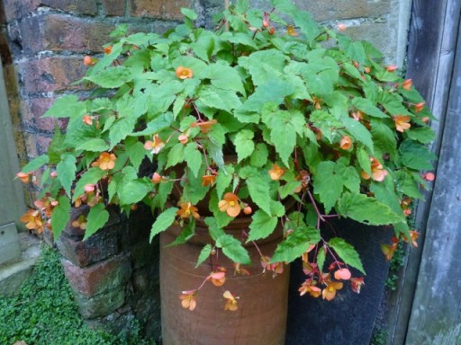 begonia sutherlandii in flower