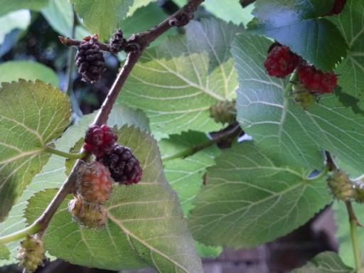 mulberries ripen on bush