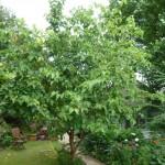 Mulberry Malady