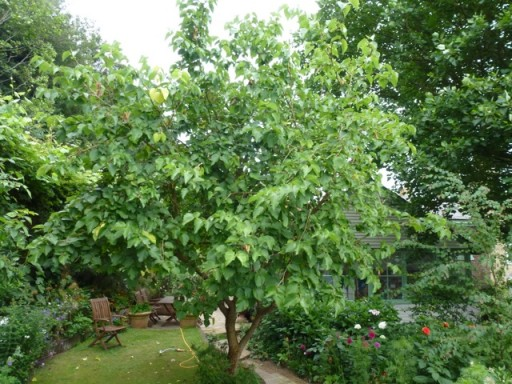 Sick Mulberry tree