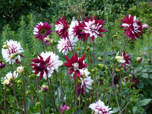 dual colour dahlias at charleston gardens