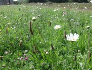sedum and wildflower meadow