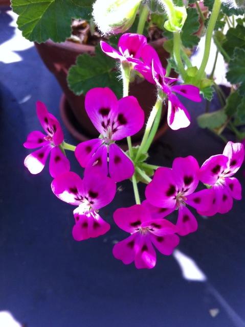 purple flower in full bloom in august
